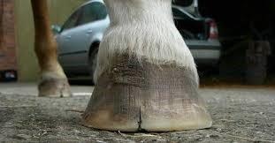Horse Hoof white line